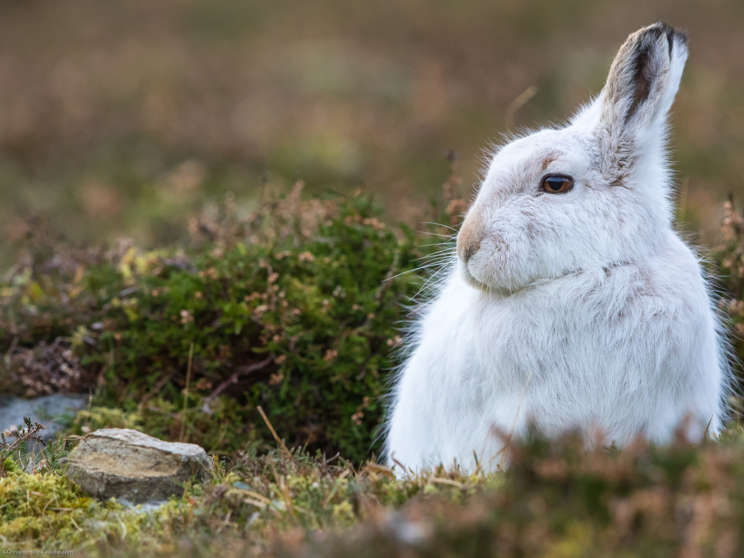 Mountain Hare on one of our guided walks in the Scottish Highlands