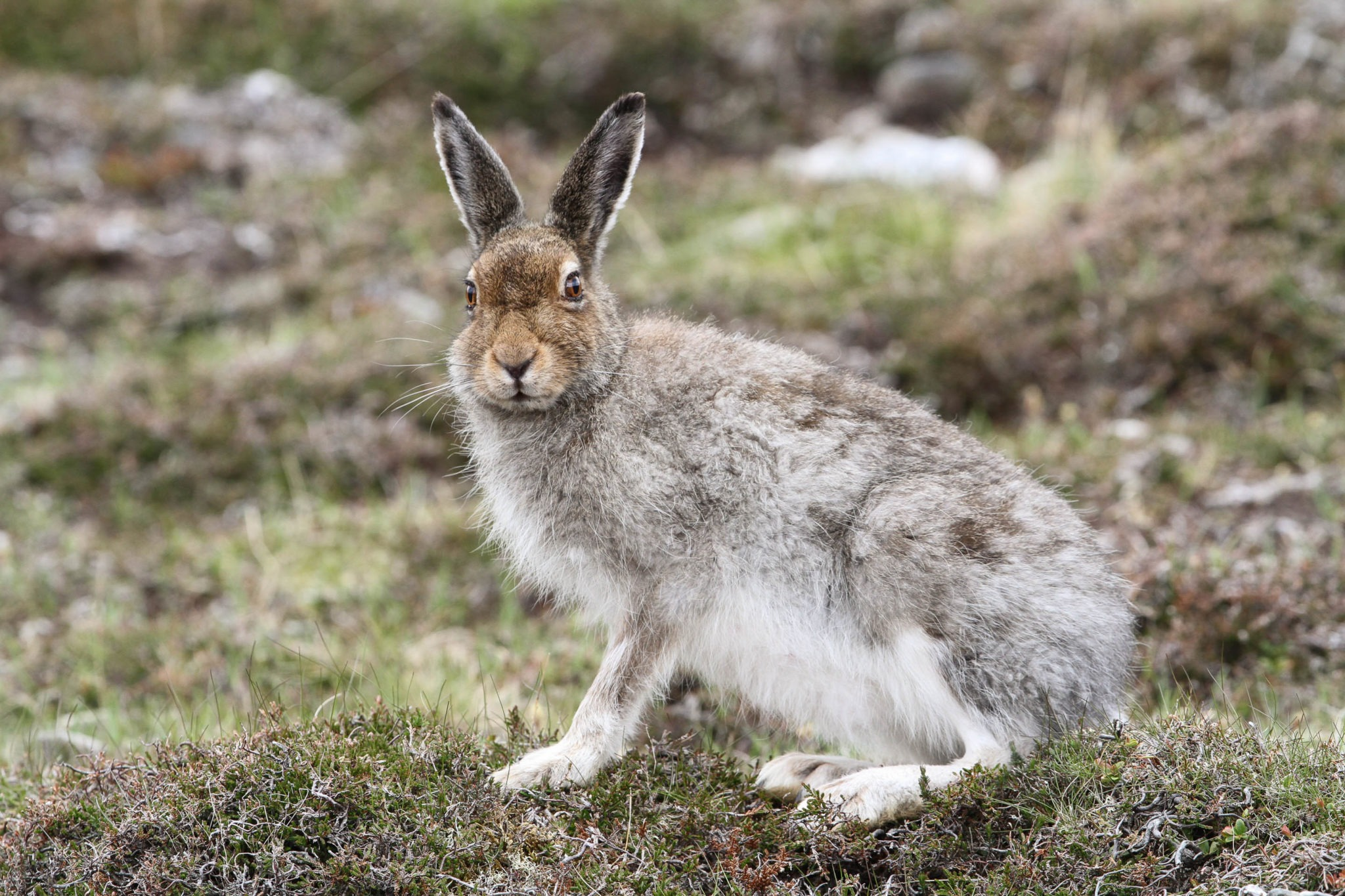 Mountain Hare on Ben Nevis, Ben Nevis Guides