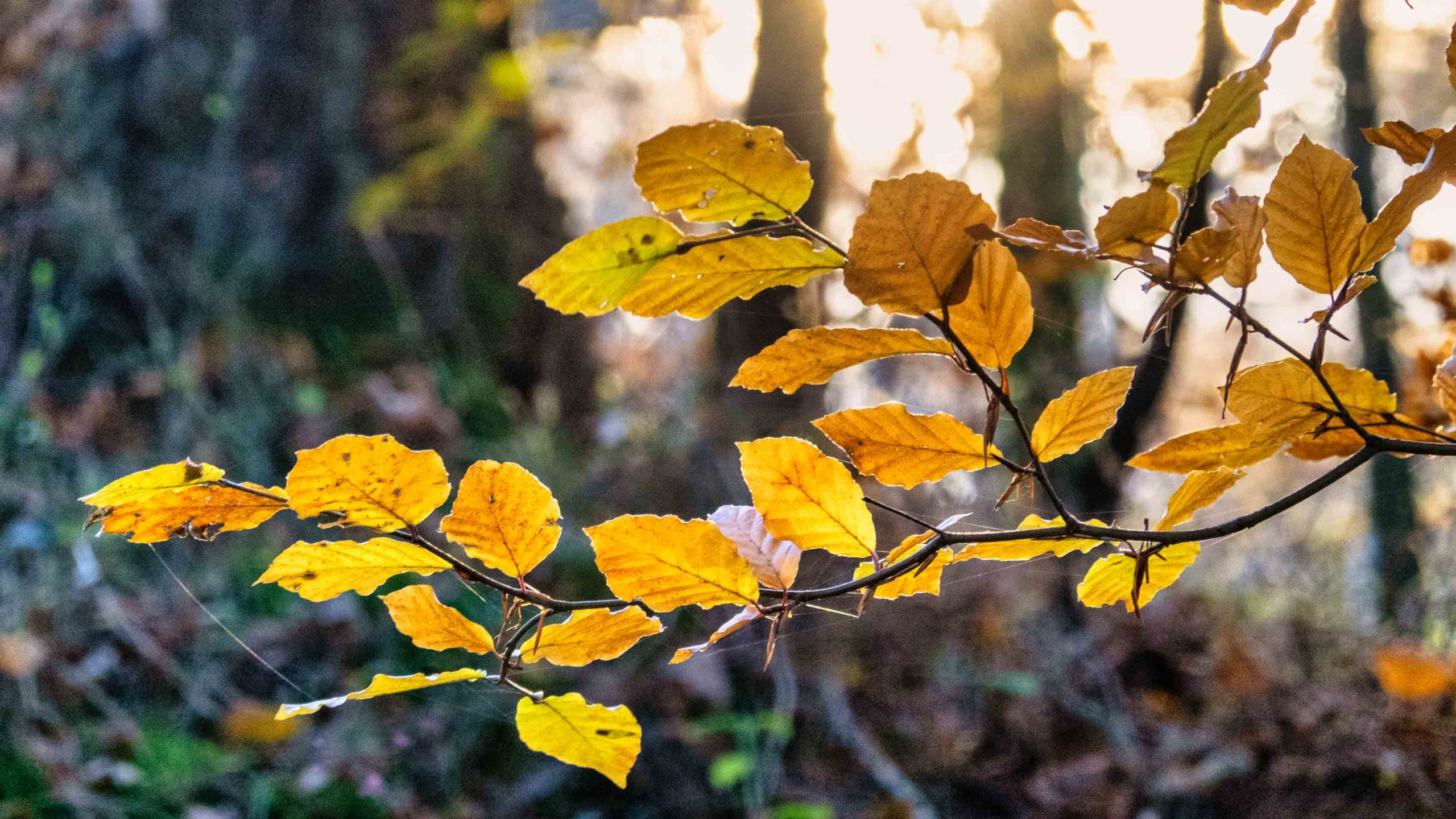 Autumn Beech leaves in Caledonian Forest