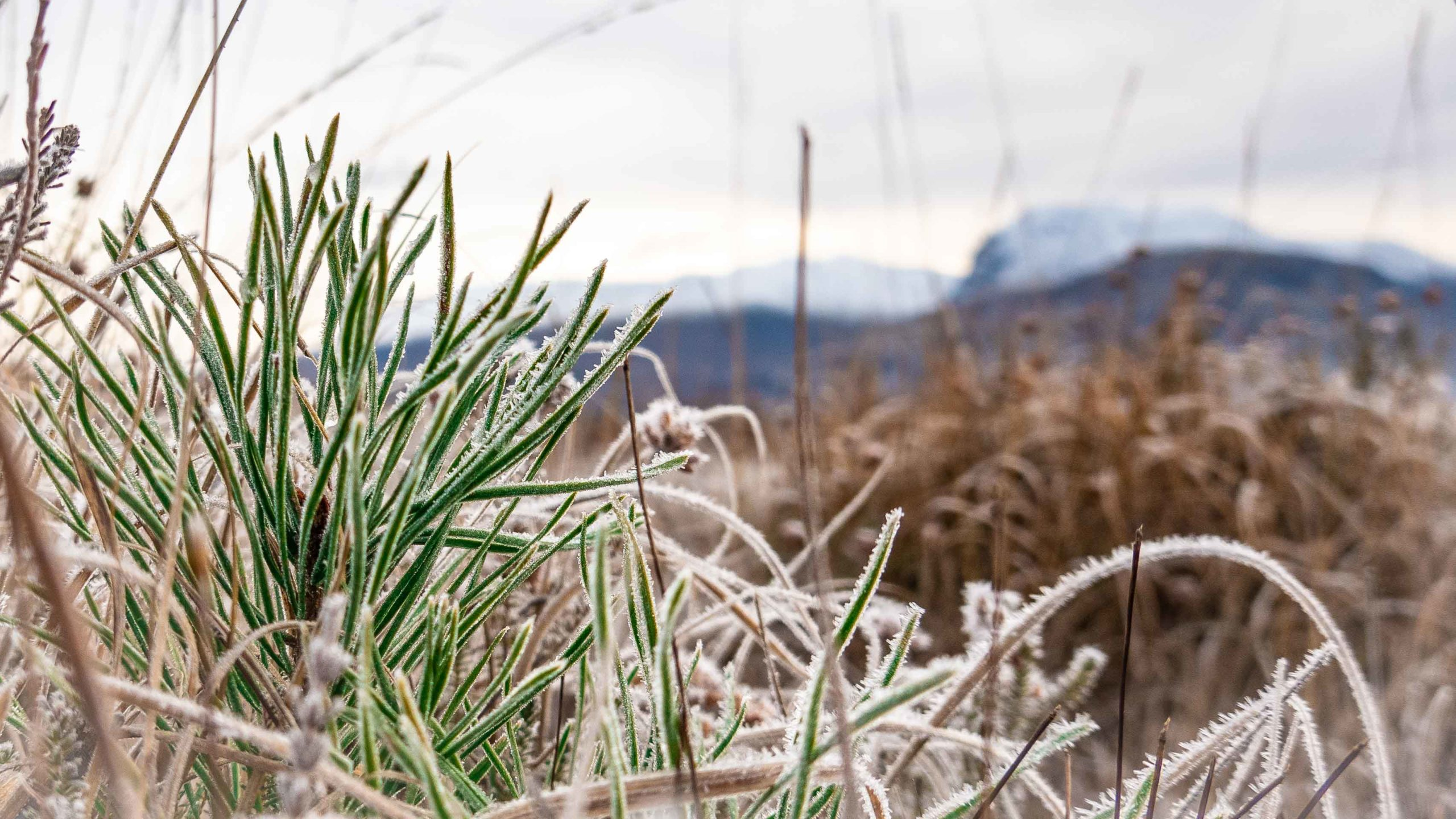 Scot's Pine with frost, Ben Nevis in the Background.Shot by one of our Ben Nevis Guides